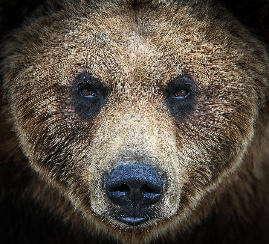Bear Photograph - The Face by Joanie Havenner