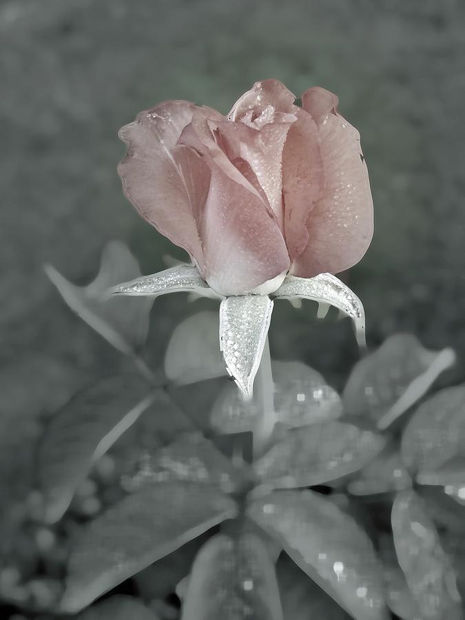 The Faded Rose Digital Art By Robert Meanor
