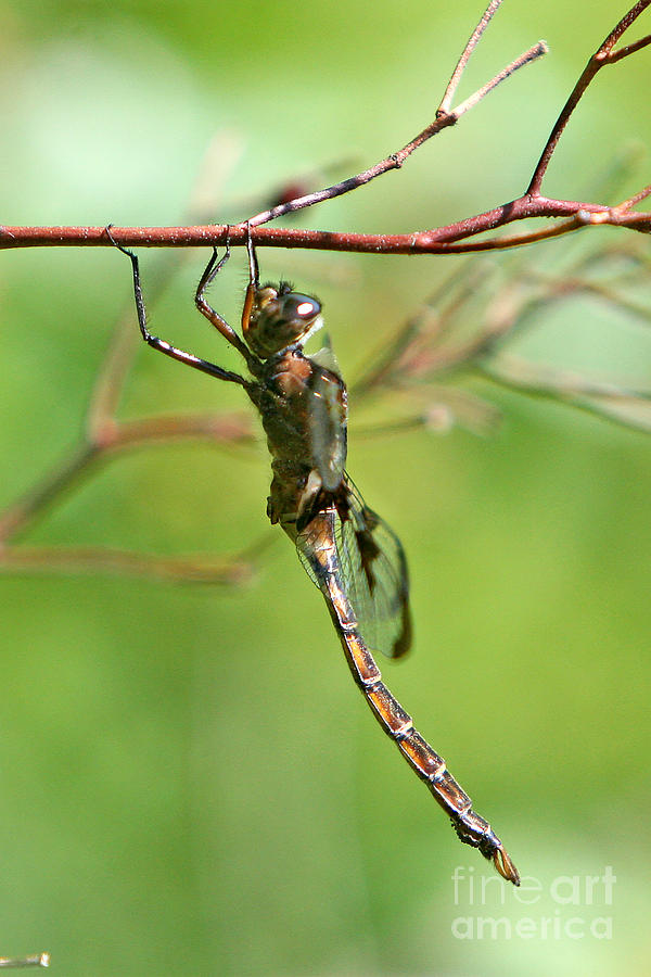 Dragonfly Photograph - The Faery  by Marle Nopardi