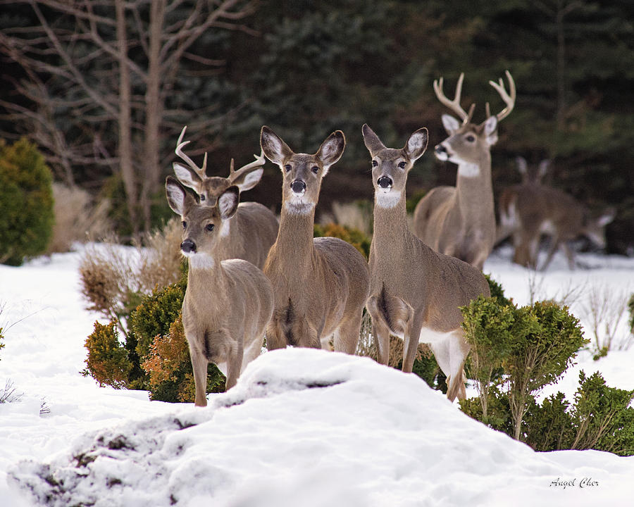 Deer Photograph - The Family by Angel Cher