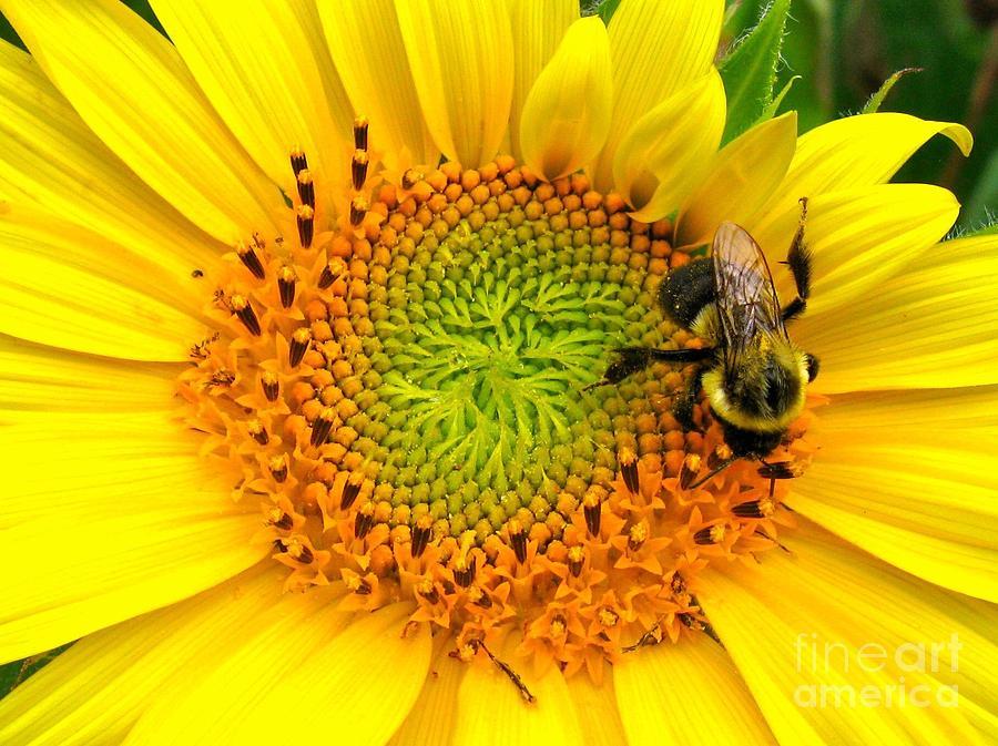 the fibonacci flower photograph by sarah beggs