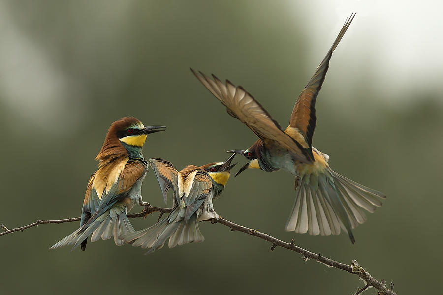 Bee Eater Photograph - The Fight For The Female by Alberto Carati