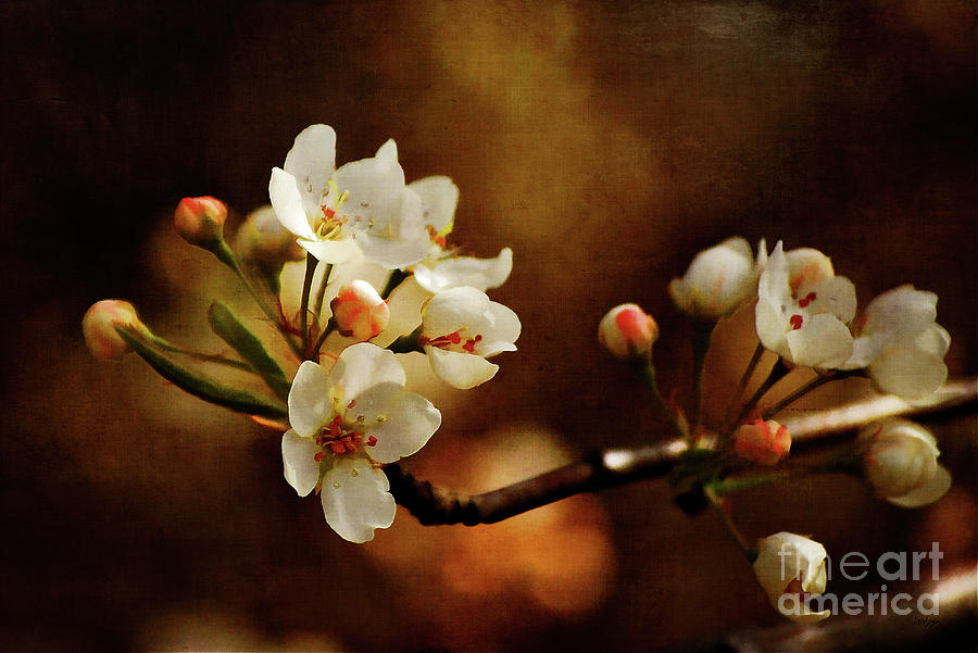 Cherry Trees Photograph - The Fleeting Sweetness Of Spring by Lois Bryan
