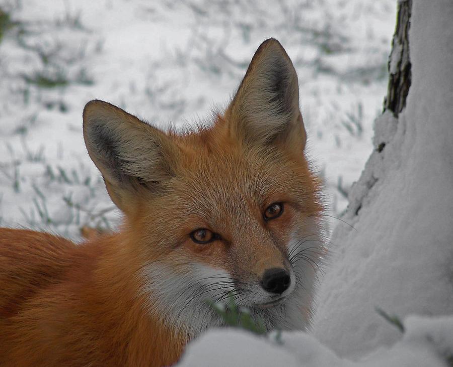 Red Fox Photograph - The Fox 4 by Ernie Echols