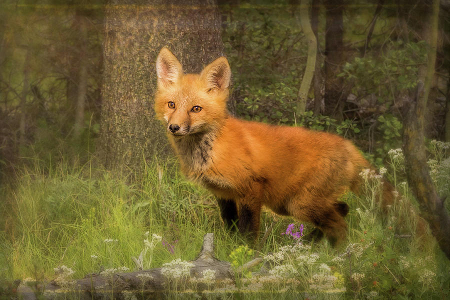 The Fox Kit by Vicki Stansbury