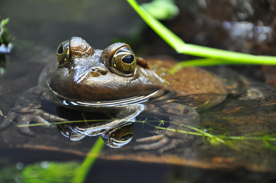 Frog Photograph - The Frog Prince by Caroline Reyes-Loughrey