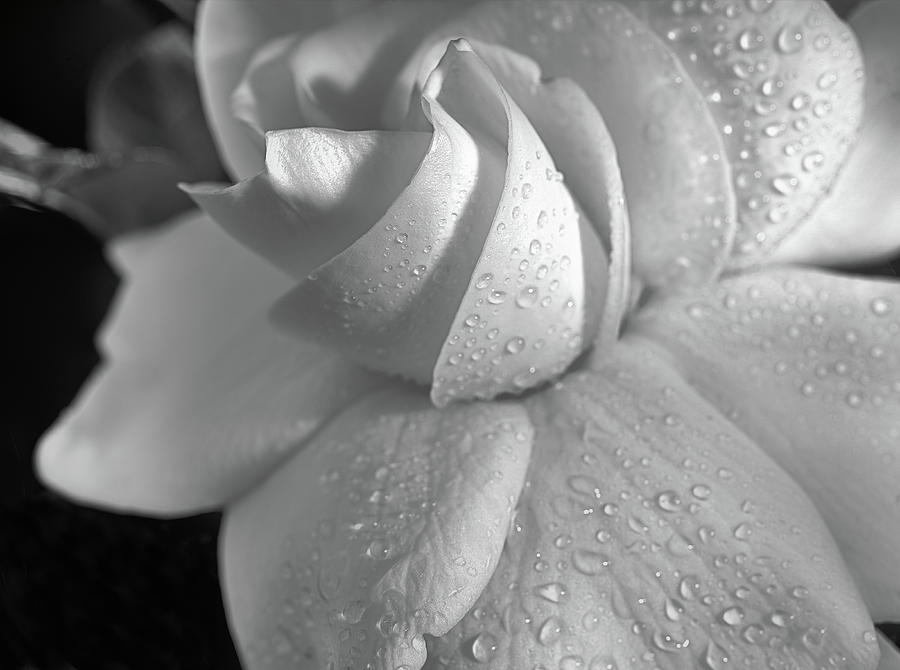 Gardenia Jasminoides Photograph - The Gardenia In Black And White by JC Findley