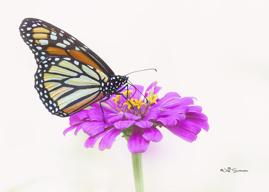 Monarch Butterfly Photograph - The Gardens Visitor by Jeff Swanson