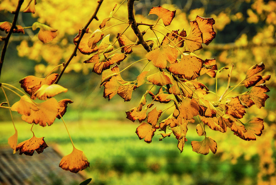 The Ginkgo Tree Leaves Closeup In Autumn Photograph By Carl Ning
