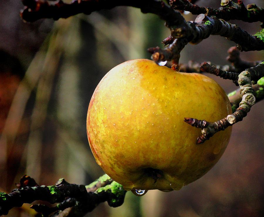 The Golden Apple From Denmark December 2009 II Photograph by Keld Gydum
