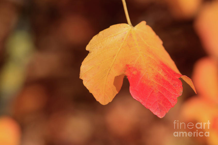 Leaf Photograph - The Golden Leaf Of Fall by Tracy Hall