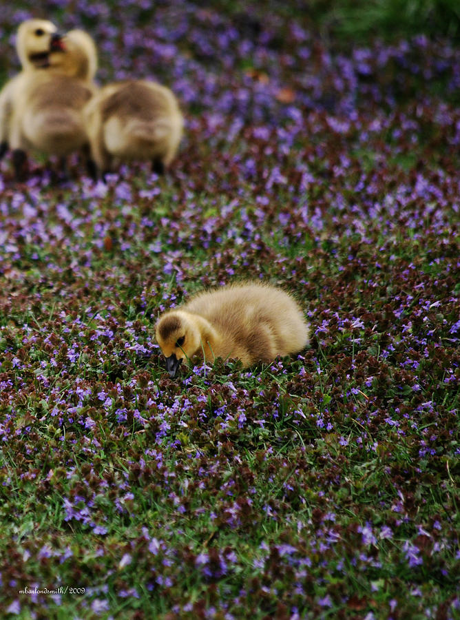 Gosling Photograph - The Gosling Series - Find Your Own Hiding Place by Michelle  BarlondSmith