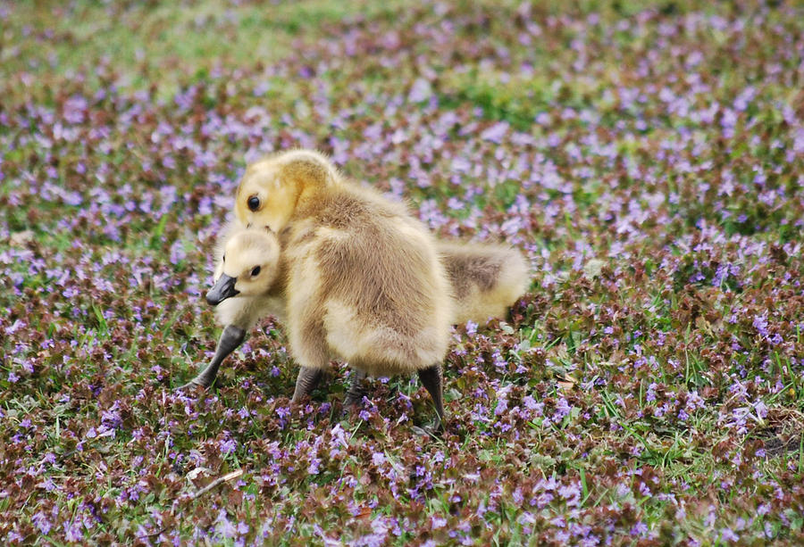 Goslings Photograph - The Gosling Series - Mom - Hes Bugging Me  by Michelle  BarlondSmith