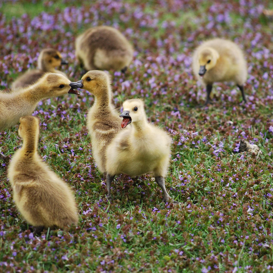 Gosling Photograph - The Gosling Series - Mom - Theyre Fighting Again by Michelle  BarlondSmith