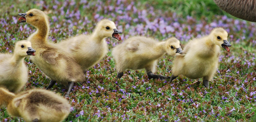 Gosling Photograph - The Gosling Series - No - Its Mine by Michelle  BarlondSmith
