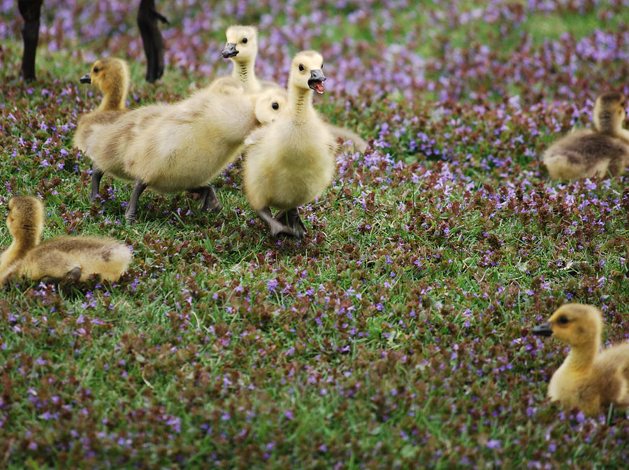 Goslings Photograph - The Gosling Series - Tag - Youre It by Michelle  BarlondSmith
