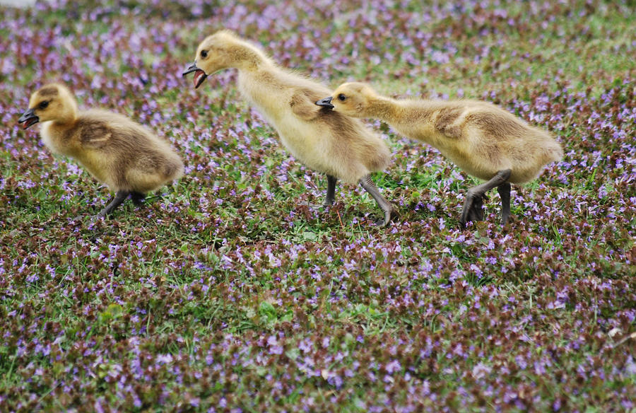 Gosling Photograph - The Gosling Series - Youre gonna get it by Michelle  BarlondSmith
