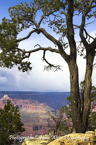 Grand Canyon Photograph - The Grand Old Tree At The Grand Canyon - Best Landscape Photography Christmas Gift by Nina Weiss
