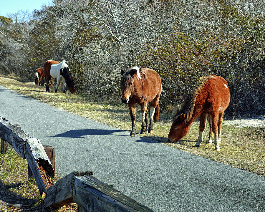 The Grass Is Always Greener by Assateague Pony Photography
