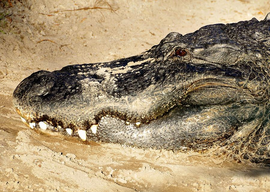 Alligator Photograph - The Great Alligator by David Lee Thompson