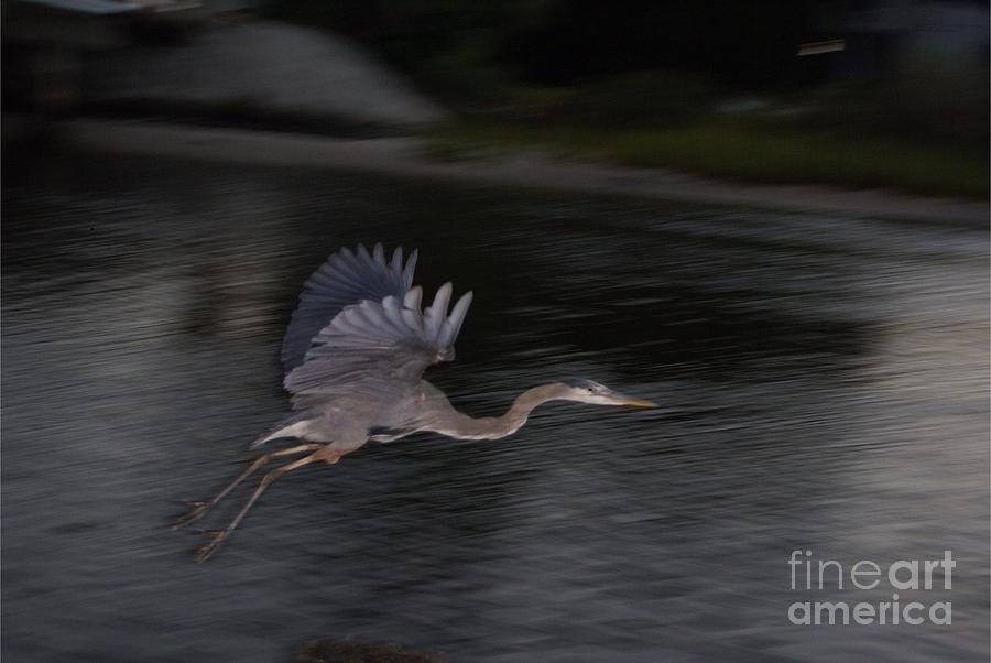 Blue Heron Photograph - The Great Blu by Debbie May