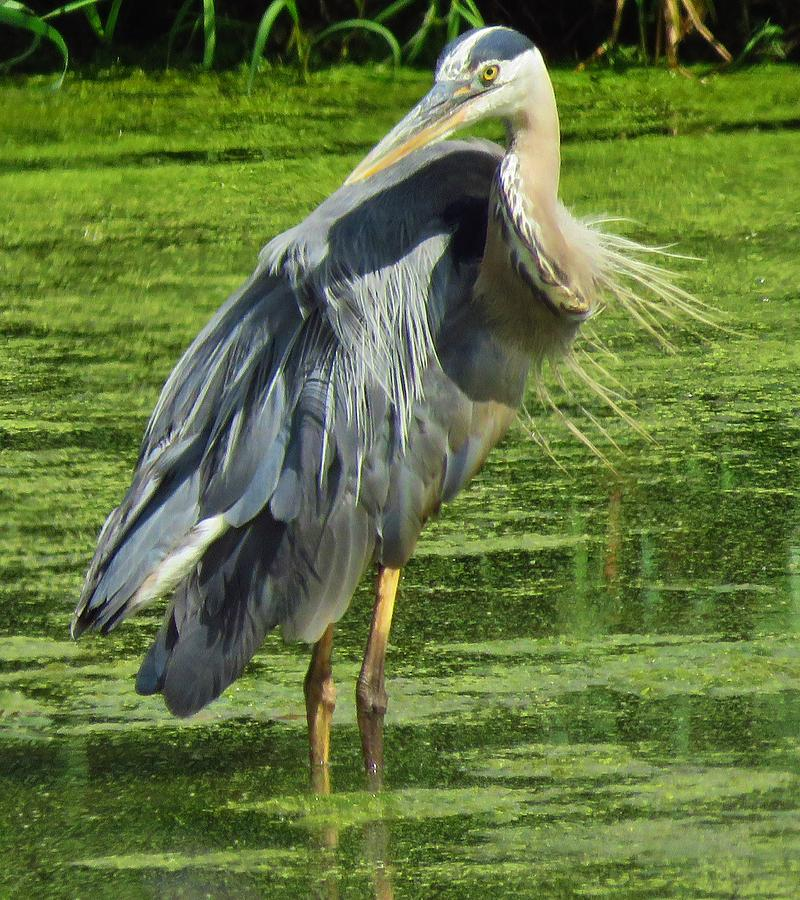 Herons Photograph - The Great Blue Heron by Lori Frisch