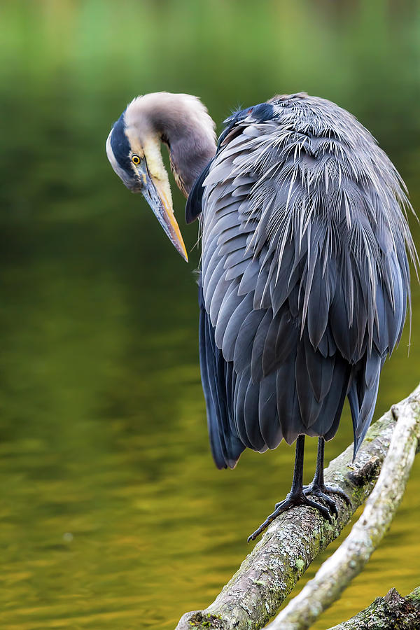 Blue Heron Photograph - The Great Blue Heron Perched On A Tree Branch Preening by David Gn