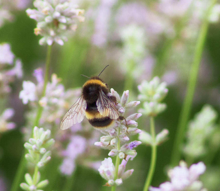 Bee Photograph - The Great British Bee by Martin Newman