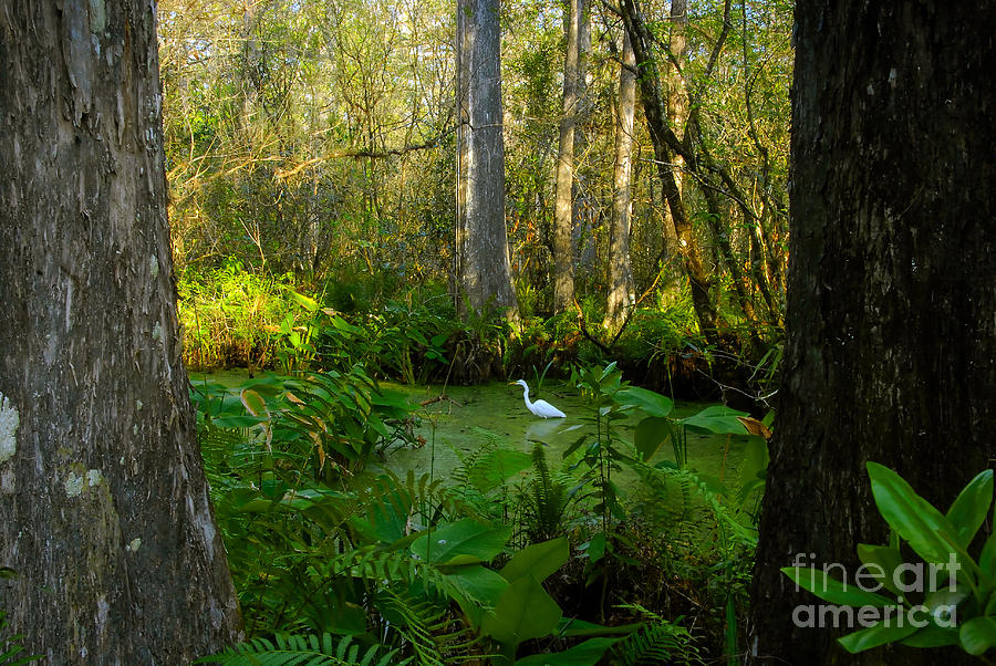 Corkscrew Swamp Photograph - The Great Corkscrew Swamp by David Lee Thompson
