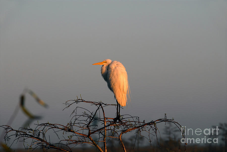 Egret Photograph - The Great Egret  by David Lee Thompson
