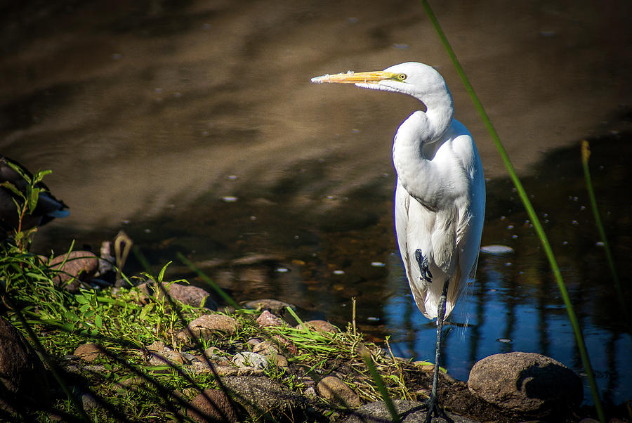Great Egret Photograph - The Great Egret by Donald Pash
