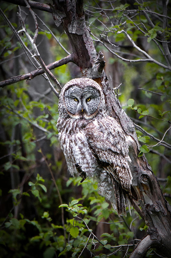 Great Gray Owl Photograph - The Great Gray by Ryan Smith