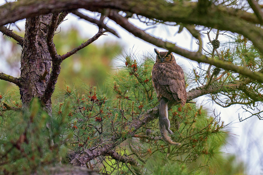 Great Horned Owl Photograph - The Great Horned Owl and His Prey by Rick Berk