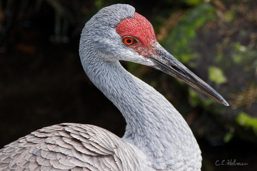 Bird Photograph - The Greater Sandhill Crane by Christopher Holmes