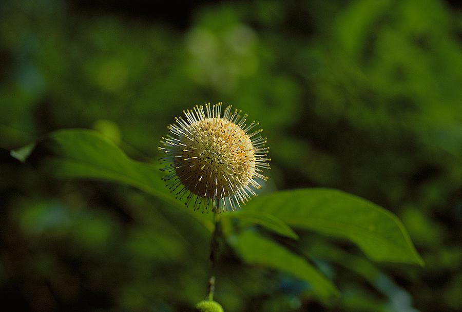 Plant Photograph - The Green Thing by Thomas Firak