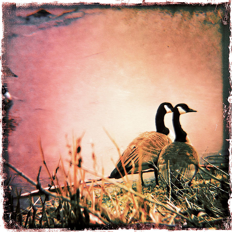 Geese Photograph - The Guardians  by Kevyn Bashore