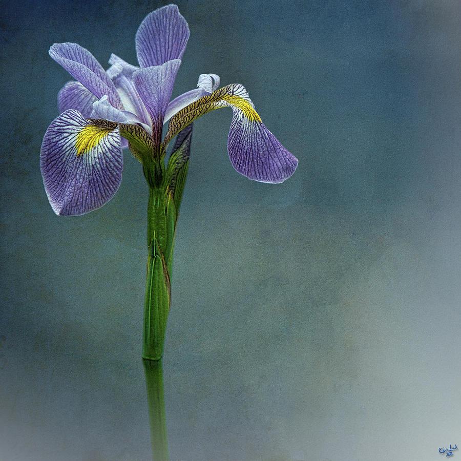 Flower Photograph - The Harlem Meer Iris by Chris Lord