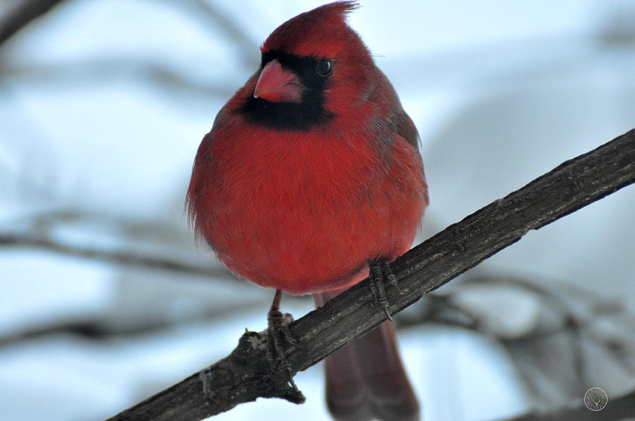 Nature Photograph - The Haughty Cardinal by Healing Woman