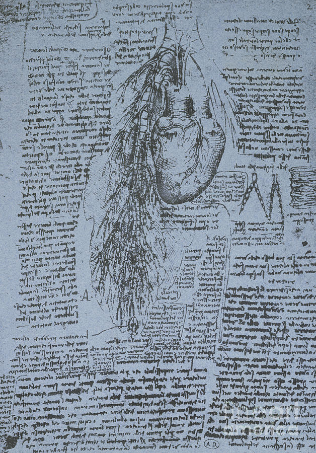 Heart Drawing - The Heart And The Bronchial Arteries by Leonardo Da Vinci