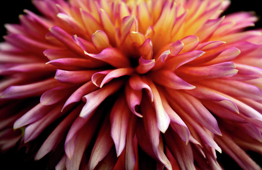 Dahlia Photograph - The Heart Of A Dahlia by Jessica Jenney