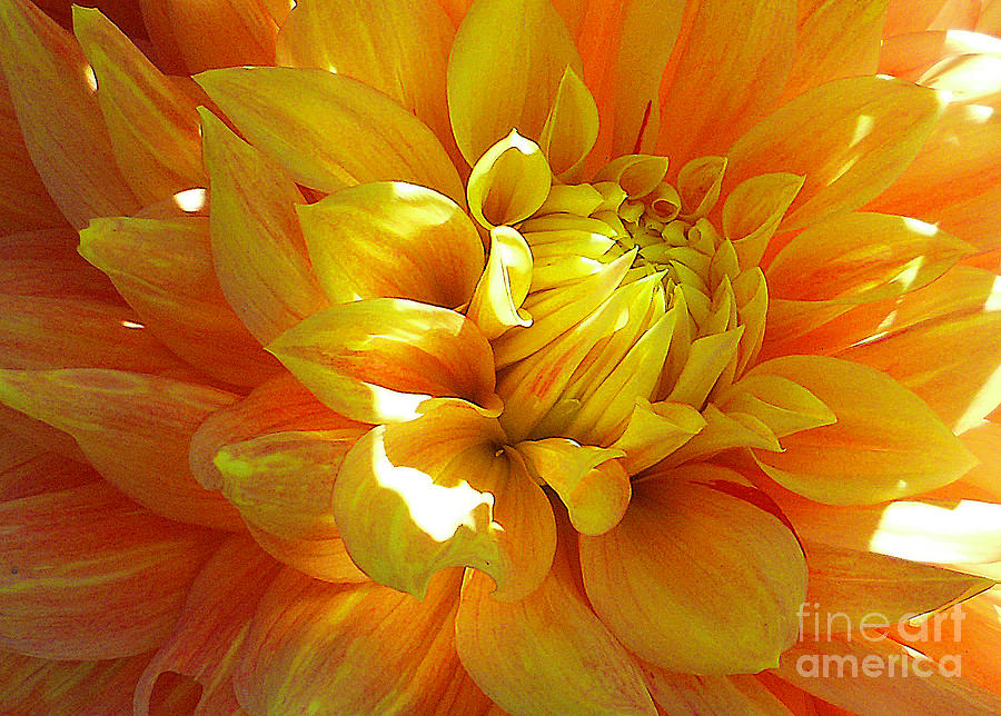 The Heart of a Dahlia by Joyce Creswell