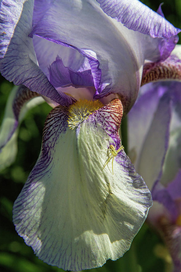 Botanical Photograph - The Heirloom And The Spider by Alana Thrower