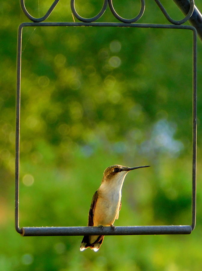 e23b5558a01e8 Karen Cook Photograph - The Hummingbird Swing by Karen Cook