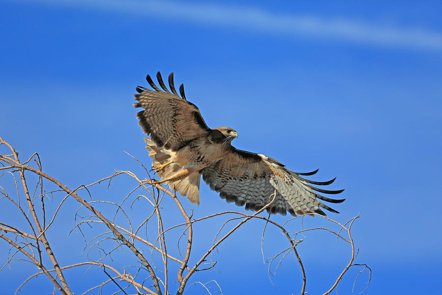 Red Tail Hawk Photograph - The Hunt by Donna Kennedy