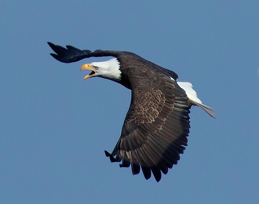 Bald Eagle Photograph - The Hunt by Sheldon Bilsker