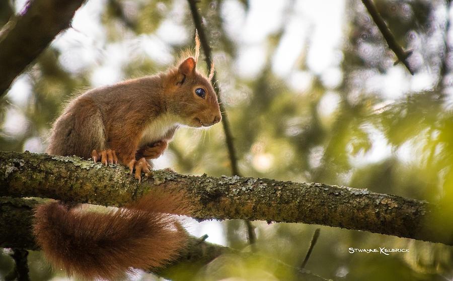 Wildlife Photograph - The Hypnotized Squirrel by Stwayne Keubrick