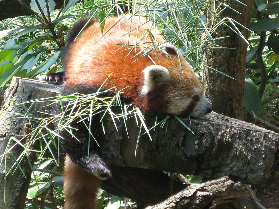 Animals Photograph - The Infamous Red Panda by Eliot LeBow