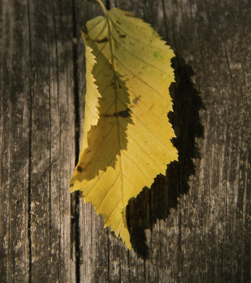 Leaf Photograph - The Jagged Edge by Odd Jeppesen