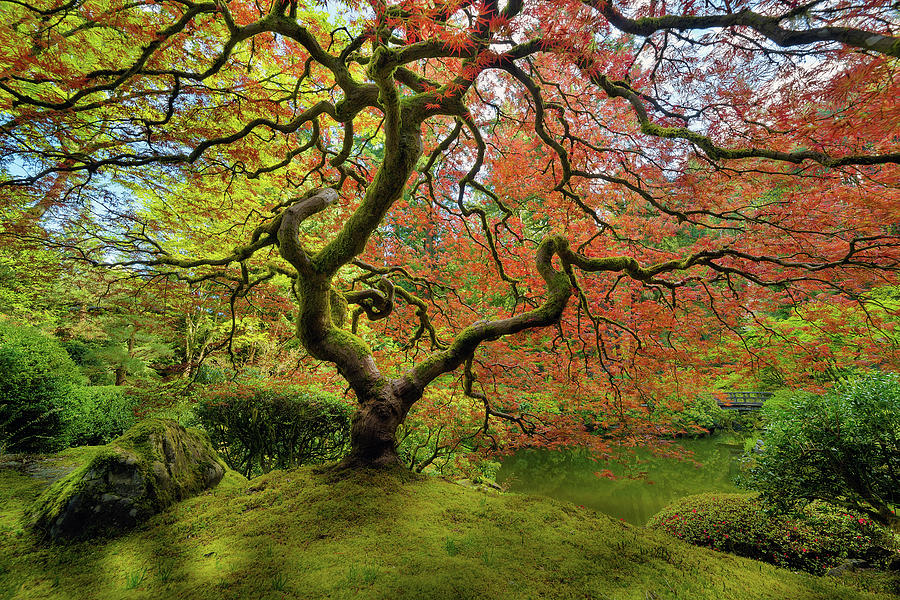 Japanese Photograph - The Japanese Maple Tree In Spring by David Gn