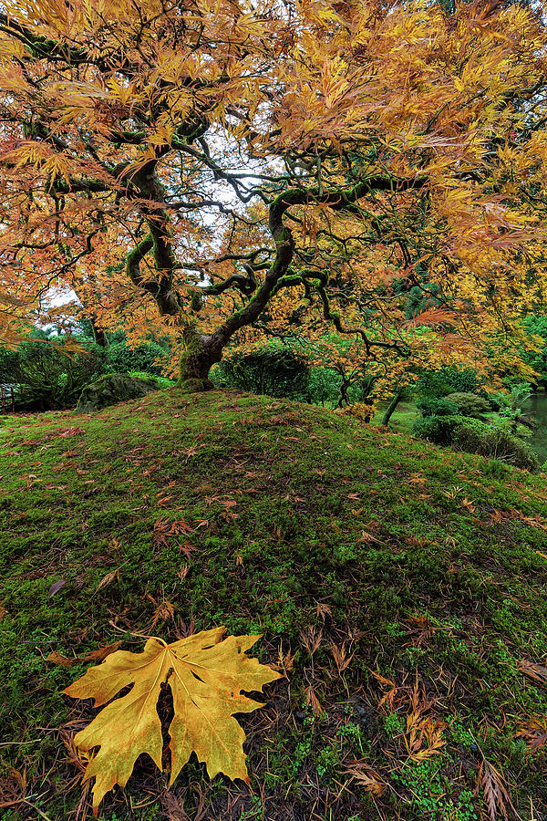 Japanese Garden Photograph - The Japanese Maple Tree In Autumn 2016 by David Gn